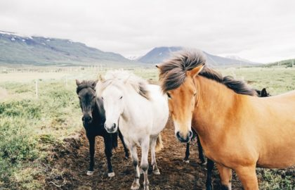 farm-animals-horses