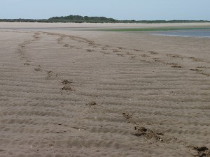 Hoof Prints In The Sand