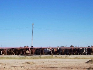 Frontier Feedlot in Morton, Texas.