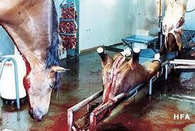Inside the slaughter house