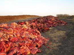 Horse parts dumped in a pit near the Natural Valley Farms plant in Neudorf, Saskatchewan. Photo courtesy of the Canadian Horse Defense Coalition.