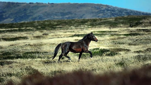 Irreparable damage: Feral horses in Kosciusko National Park may face a cull. Photo: Wayne Taylor