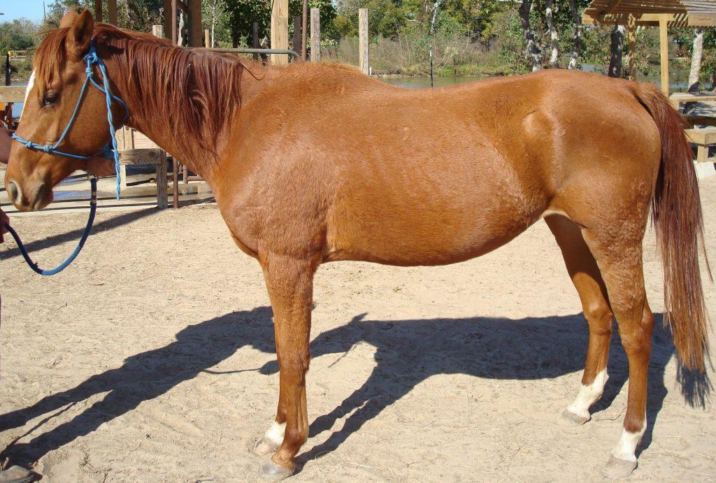 Classic - adoptable horse