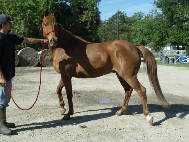 Chino - Adoptable Horse