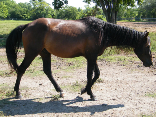 Cinch - Adoptable Horse