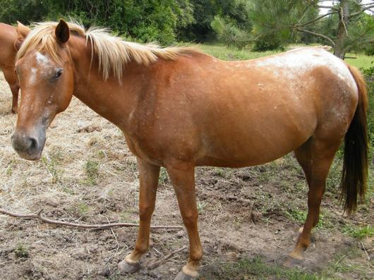 Ezri - adoptable horse