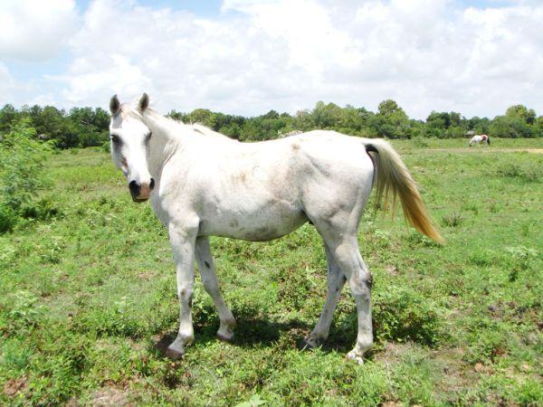Regal - Adoptable Horse