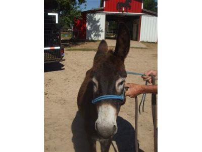 Stanley - Adoptable Donkey