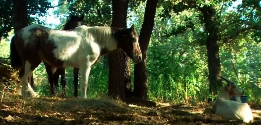 Charlie the horse led by goat