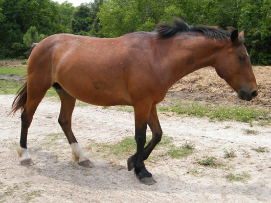 Lady Rebecca Rolfe - adoptable horse