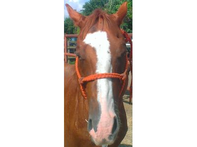 Lucha - adoptable Quarter Horse