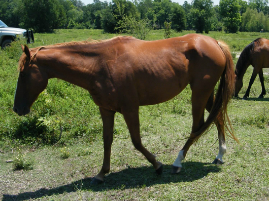 Nerissa - adoptable easy to train horse