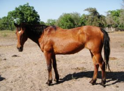 Nevaeh - adoptable horse