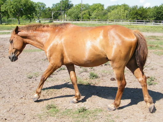 Odin - adoptable horse