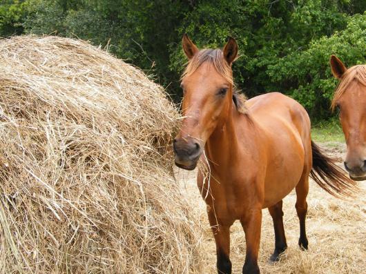 Odo - adoptable horse