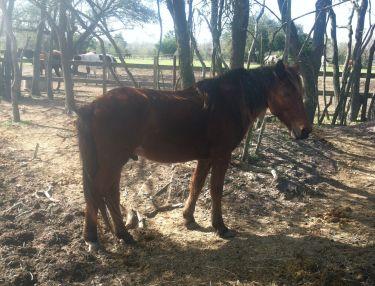 Oni - Adoptable Horse