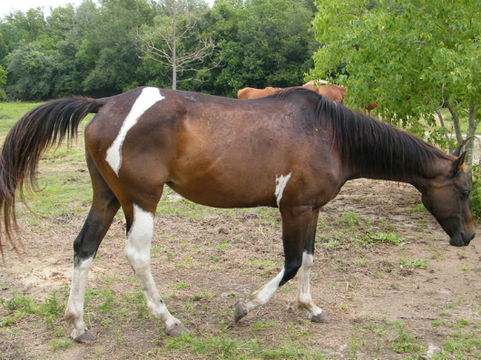 Oreo - adoptable horse