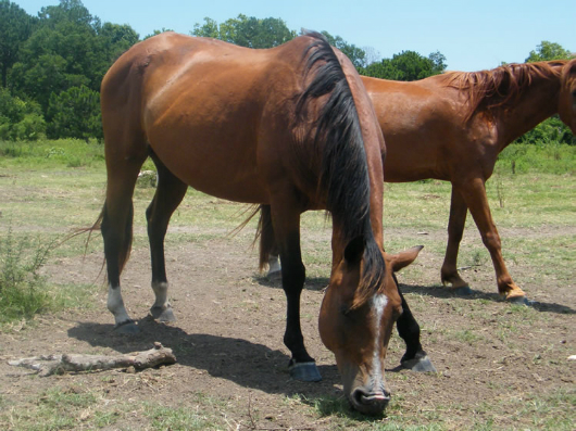 Princess Jasmine - adoptable horse