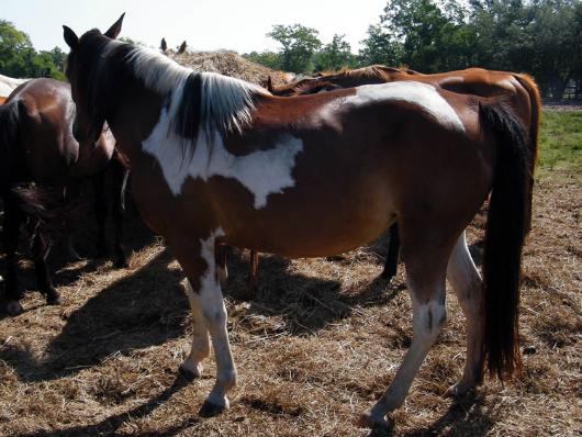 Savanah - adoptable horse