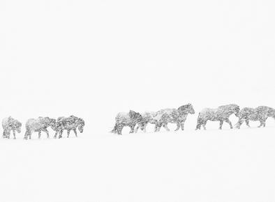 blizzard horses