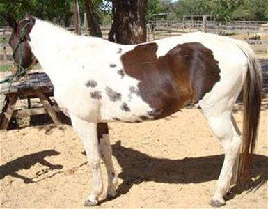 Carolina Jewel - Adoptable Horse