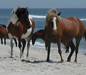 Assateague Island National Seashore Wild Horses