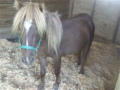 Gulliver - adoptable mini horse