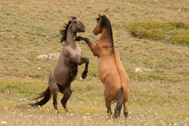 Young stallions can frequently be seen sparring with each other. These two show the dun factor, which is quite common in the Pryors. The horse on the left is a grullo. The horse on the right is a dun and shows the dark dorsal stripe that runs from mane to tail. / Photo courtesy of Matthew Dillon