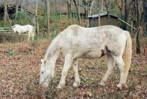 Cherokee Horses