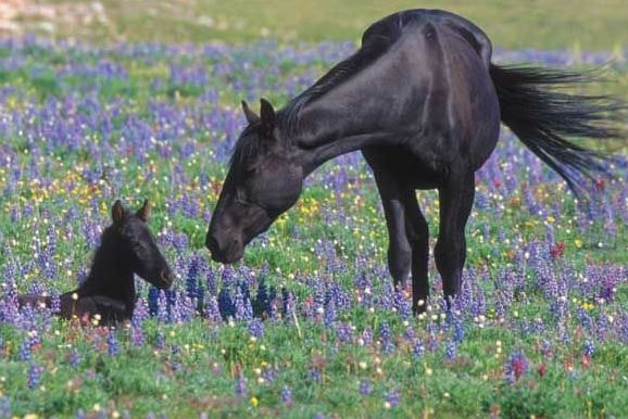 Pryor Mountain wild horses