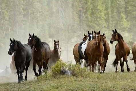 Wild horses - should we protect them?