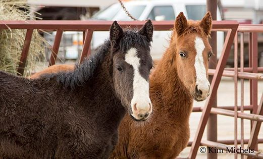 two of the foals rescued from the blm roundup