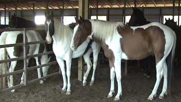 horses to slaughter