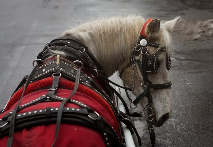 NYC Central Park Carriage Horse