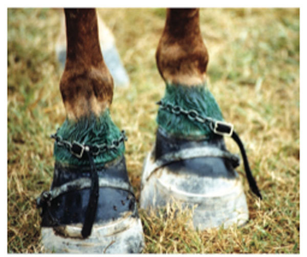 A Tennessee walking horse's padded and chained hoofs. U.S. AGRICULTURE DEPARTMENT Read more here: http://www.kentucky.com/2014/05/05/3227578/walking-horse-industry-not-ending.html?sp=/99/349/#storylink=cpy
