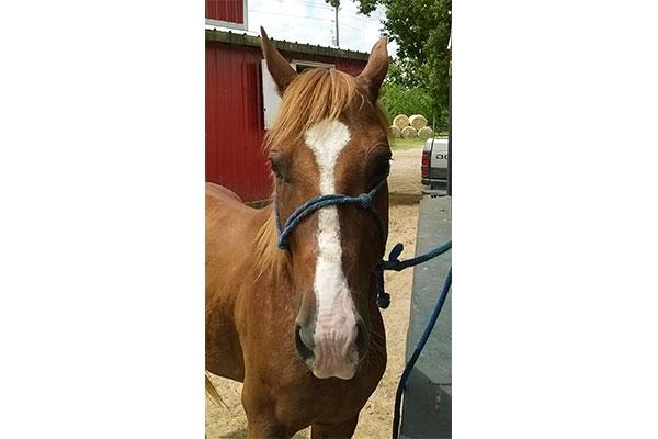La Marque is an adoptable Quarter Horse Gelding