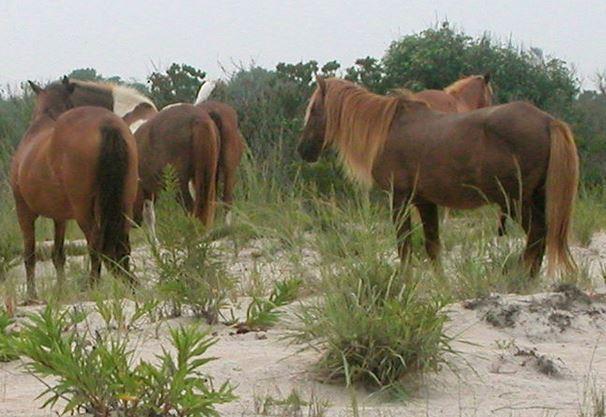 ponies on Assateague island