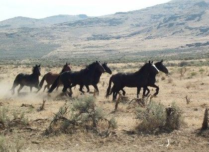 Nevada wild horses