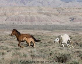 Rock Springs Grazing Assoc wild horses