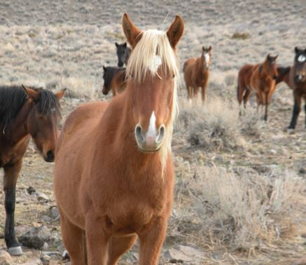 wild horses of west blamed when its the drought