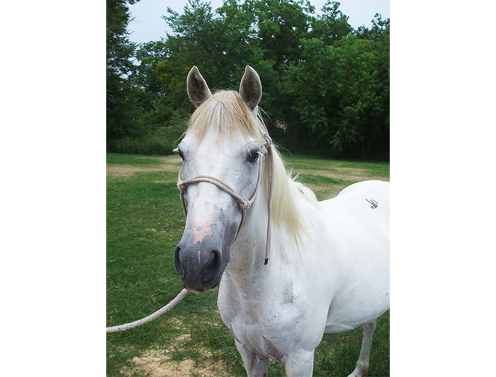 Trace - adoptable gray mare