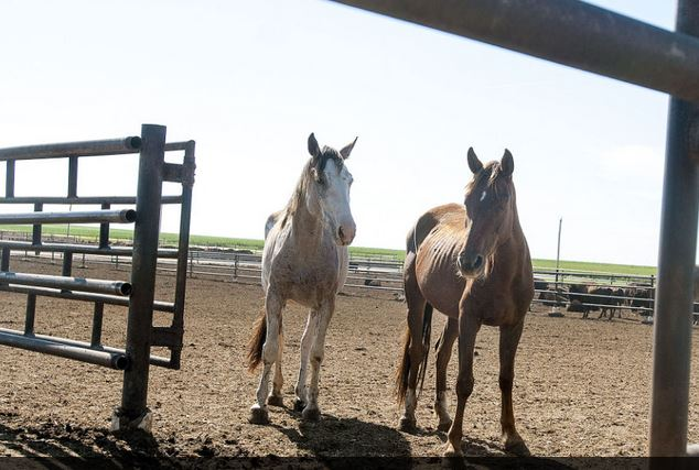 Becky Malewitz/TelegramHorses relocated by the Bureau of Land Management occupy a corral at Beef Belt Feed Lot.