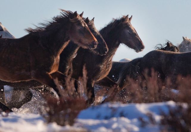 Brumbies wild horses of Australia