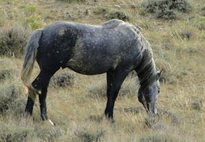wild_horse