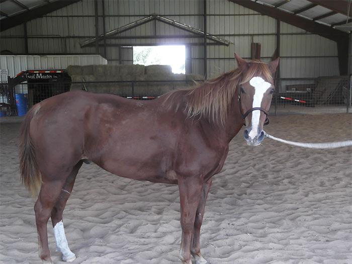 Waylon - adoptable horse