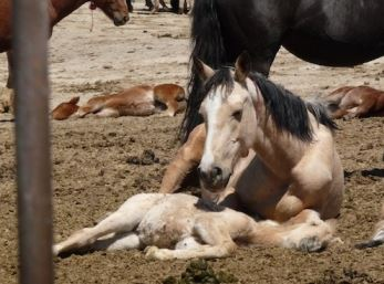 BLM horses after round up dying