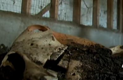 carcass of a horse