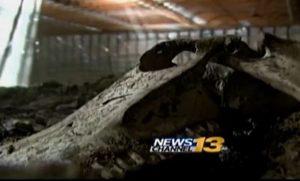Rotting horse carcasses left in barn