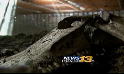 Rotting horse carcasses left in barn