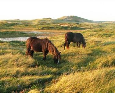 wild horses on Sable island